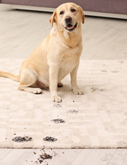 Dog stain on rug | Andy's 5 Star Flooring